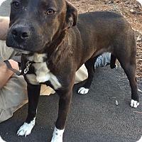 Adopt A Pet :: Millie - Durham, NC