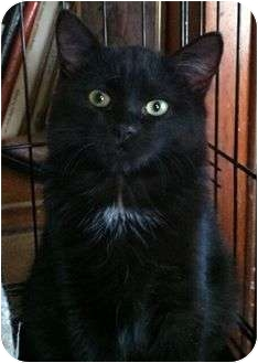 Domestic Shorthair Cat for adoption in Port Republic, Maryland - Eclipse