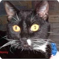 Adopt A Pet :: Stormy - Albany, NY