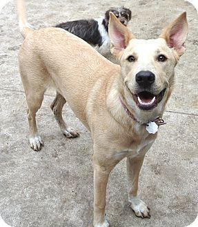 Labrador Retriever Mix Dog for adoption in Houston, Texas - Bailey-Rachel