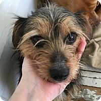 Adopt A Pet :: Gunner - Chewelah, WA