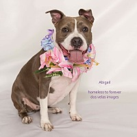 Adopt A Pet :: Abigail - Sherman Oaks, CA