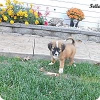 Adopt A Pet :: Fella - mooresville, IN