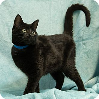 Domestic Shorthair Cat for adoption in Houston, Texas - Boomerang