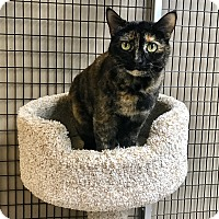 Calico Cat for adoption in Stockton, California - Kitty Purry