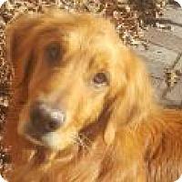 Golden Retriever Dog for adoption in Denver, Colorado - Bowie