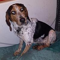 Adopt A Pet :: Shiloh - Iroquois, IL