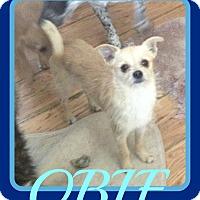 Adopt A Pet :: OBIE - Mount Royal, QC