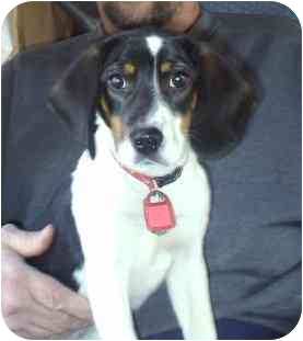 Beagle Puppy for adoption in cedar grove, Indiana - Marble