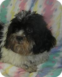Poodle (Toy or Tea Cup)/Shih Tzu Mix Dog for adoption in Antioch, Illinois - Fuzzy Osbourne ADOPTED!!