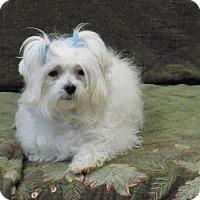 Adopt A Pet :: Boots - Tumwater, WA