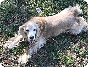 Cocker Spaniel Dog for adoption in Cape Coral, Florida - Christopher
