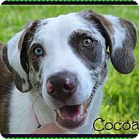 Adopt A Pet :: Cocoa - Plano, TX