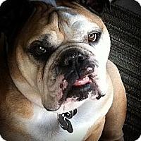 Adopt A Pet :: Mugsy - Gilbert, AZ