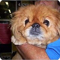 Adopt A Pet :: Porkchop Face - Chesapeake, VA