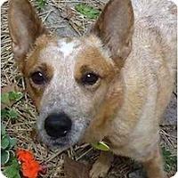 Adopt A Pet :: Rose - Siler City, NC