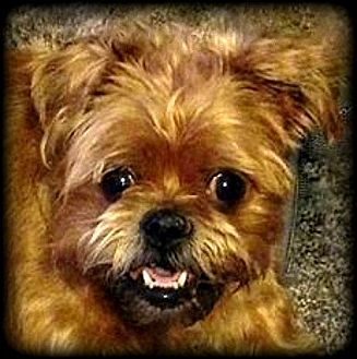 Brussels Griffon Dog for adoption in Seymour, Missouri - ROZA in Boulder, CO