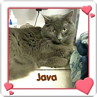 Domestic Longhair Cat for adoption in New Richmond,, Wisconsin - Java - Zero Adoption Fee
