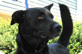 Labrador Retriever/Shepherd (Unknown Type) Mix Dog for adoption in St. Charles, Illinois - Angie