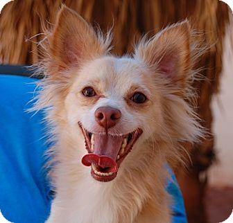 Chihuahua Mix Dog for adoption in Las Vegas, Nevada - Randall