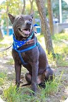 Labrador Retriever Mix Dog for adoption in Castro Valley, California - Asa