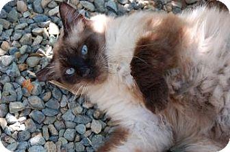 Balinese Cat for adoption in El Dorado Hills, California - Mocha
