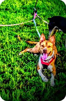 Basenji/Shepherd (Unknown Type) Mix Puppy for adoption in Miami, Florida - Neya