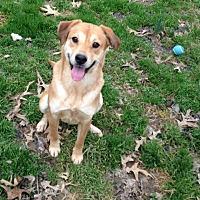 Adopt A Pet :: Brownie - E. Greenwhich, RI