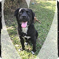 Terrier (Unknown Type, Medium) Mix Dog for adoption in Royal Palm Beach, Florida - Hunter