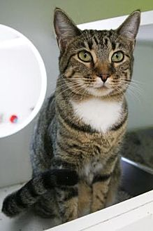 Domestic Shorthair Cat for adoption in Los Angeles, California - Lucy *Funloving and Talkative*