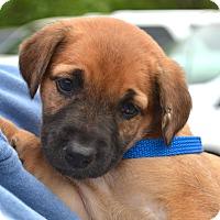 Adopt A Pet :: *Ginger PENDING - Westport, CT