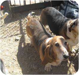 Basset Hound Dog for adoption in Acton, California - Daphney
