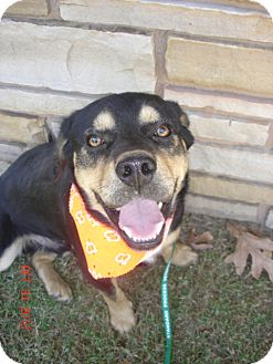 Rottweiler/Basset Hound Mix Dog for adoption in Stilwell, Oklahoma - Bocephus
