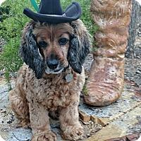 Adopt A Pet :: Alfie Blue - Sugarland, TX