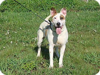 Cattle Dog/Bull Terrier Mix Dog for adoption in Cameron, Missouri - Louie