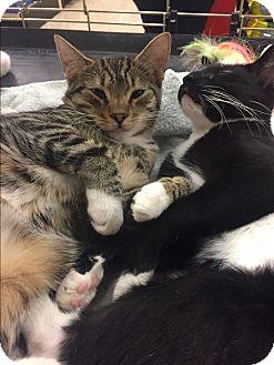 Domestic Shorthair Cat for adoption in Lancaster, California - Andrew