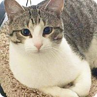 Adopt A Pet :: Sherlock Holmes - Arlington/Ft Worth, TX