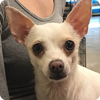 Chihuahua Dog for adoption in Orlando, Florida - Leila