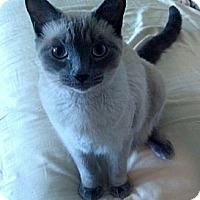 Adopt A Pet :: Artemis - Laguna Woods, CA
