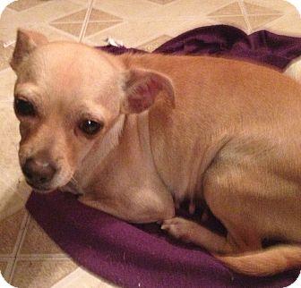Chihuahua Mix Dog for adoption in Gilbert, Arizona - Rosalie