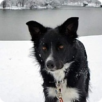 Border Collie Dog for adoption in Evansville, Indiana - Jacob (Courtesy Listing  from Georgetown, KY)