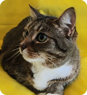 Domestic Shorthair Cat for adoption in Carneys Point, New Jersey - Emma