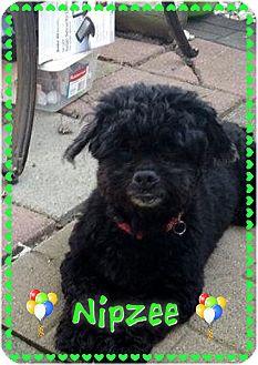 Cockapoo Dog for adoption in Greensboro, Maryland - Nipzee