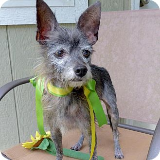 Terrier (Unknown Type, Small) Mix Dog for adoption in Baton Rouge, Louisiana - Zeke