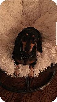 Dachshund Dog for adoption in Decatur, Georgia - VIrgil