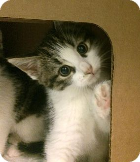 Domestic Shorthair Kitten for adoption in East Brunswick, New Jersey - Vinny