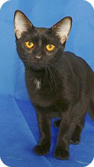 Domestic Shorthair Cat for adoption in Gloucester, Virginia - VALKA