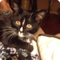 Adopt A Pet :: Felix - Bridgeton, MO