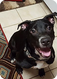 Labrador Retriever Mix Dog for adoption in Akron, Ohio - Jolene