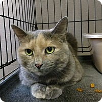 Domestic Shorthair Cat for adoption in Plainville, Massachusetts - Lily